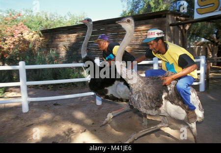 South Africa. Oudshoorn. Little Karoo. Bird. Ostriches at Ostrich farm. Ostrich race. Gardenroute. - Stock Photo