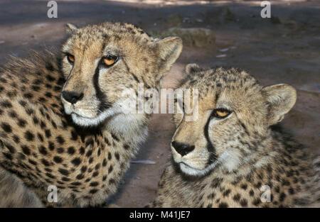 South Africa. Oudshoorn. Little Karoo. Gardenroute. Cango Wildlife Ranch. Captivity. Cheetahs. - Stock Photo