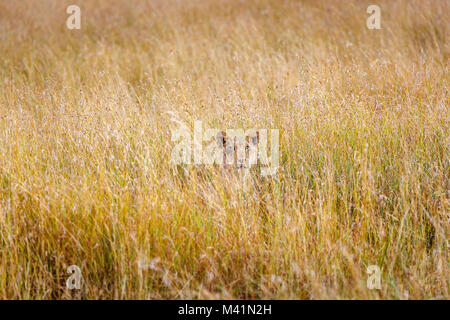 Big 5 apex predator hunting: Stealthy lioness (Panthera leo) concealed in long grass with an intense gaze stalking - Stock Photo