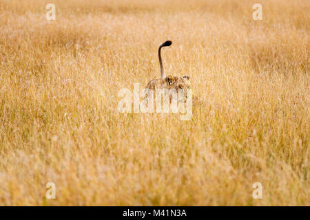 Big 5 apex predator hunting: Stealthy lioness (Panthera leo) with raised tail prowling in long grass stalking prey, - Stock Photo