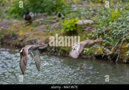 Left is Gadwall Duck (Anas strepera), right maybe Gadwall or Mallard, both possibly hybrids, flying low over water - Stock Photo