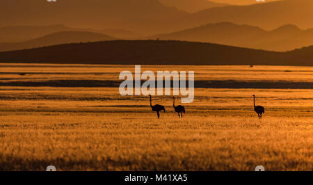 Namibian Ostriches at Sunrise - Stock Photo