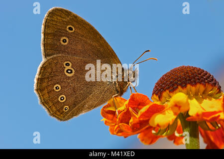 A Ringlet butterfly, Aphantopus hyperantus, feeding on an orange colored Helenium flower in front of blue sky, Rhineland, - Stock Photo