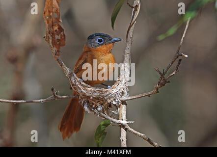 Madagascar Paradise-flycatcher (Terpsiphone mutata singetra) adult female building nest, Madagascan endemic  Analamazaotra, - Stock Photo