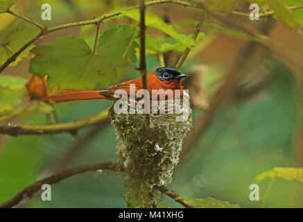 Madagascar Paradise-flycatcher (Terpsiphone mutata mutata) adult female on nest, Madagascan endemic  Analamazaotra, - Stock Photo