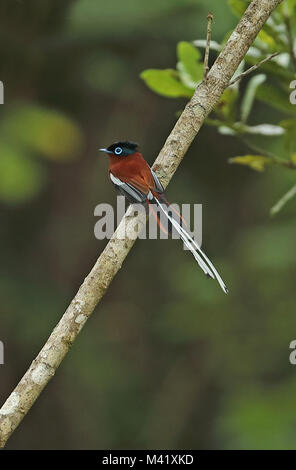 Madagascar Paradise-flycatcher (Terpsiphone mutata mutata) rufous morph adult male perched on branch, Madagascan - Stock Photo