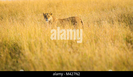 Big 5 Apex predator: Stealthy watchful lioness (Panthera leo) hunting stands alert partially concealed in long grass - Stock Photo