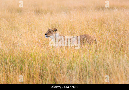 Predator: stealthy watchful lioness (Panthera leo) standing partially concealed in long grass, alert watching for - Stock Photo