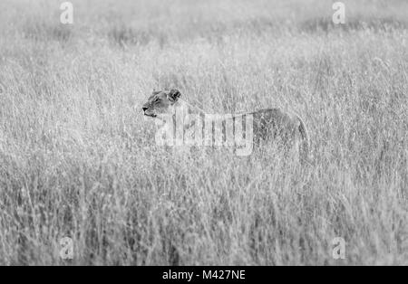 Big 5 predator: Stealthy watchful lioness (Panthera leo) stands partially concealed in long grass, alert and watchful - Stock Photo