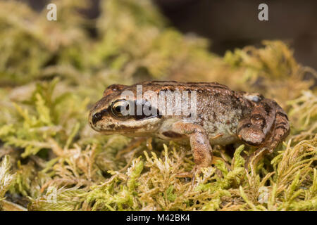 Common froglet (Rana temporaria) resting on moss. Tipperary, Ireland. - Stock Photo