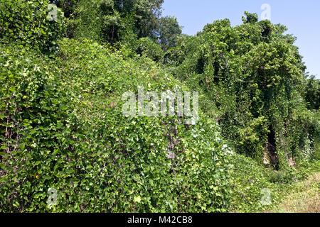 Northwest Arkansas:  The vine that ate the south -- Kudzu -- blankets roadside foliage southwest of Mountain Home. - Stock Photo