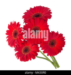 Five red gerbera flowers isolated on white background.Bouquet red flowers gerbera. - Stock Photo