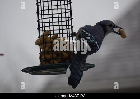 blue jay eating - Stock Photo