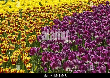 Triumph tulip Helmar (left), Triumph tulip Negrit - Stock Photo
