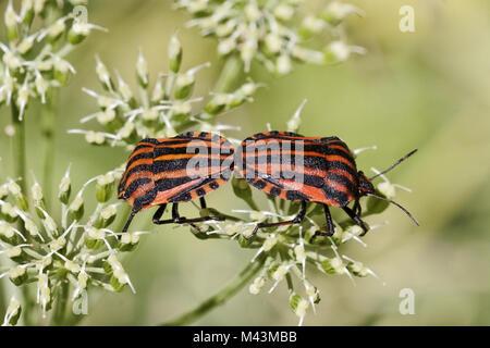 Graphosoma lineatum, Italian Striped-Bug, Minstrel - Stock Photo