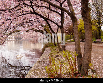 Blooming cherry trees at the inner Alster Lake on a calm morning with swan. - Stock Photo