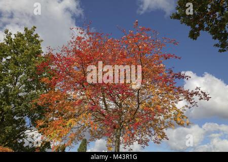 Sorbus aucuparia, European Rowan in autumn, German - Stock Photo