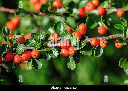 Cotoneaster Bush - Stock Photo
