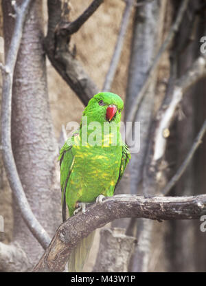 Scaly-breasted lorikeet (Trichoglossus chlorolepidotus) in a zoo - Stock Photo