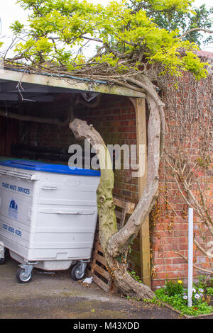 15 May 2017 An unusual old twisted and gnarled  Wisteria plant growing through a garage roof in the seaside town - Stock Photo