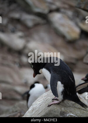 A rockhopper penguin standing on a rocky cliff and peering over the edge. Photographed with a shallow depth of field.