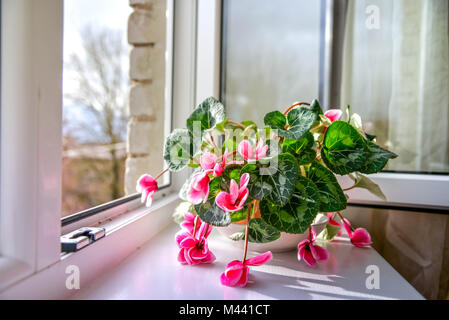 Wilted colorful variegated white and pink cyclamen flowers with ornamental leaves cultivated as indoor houseplants on window sill with open windows, i