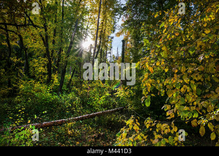 Bright sun rays shining through dark and overgrown forest with fallen trees after wind storm in late autumn. Gathering - Stock Photo