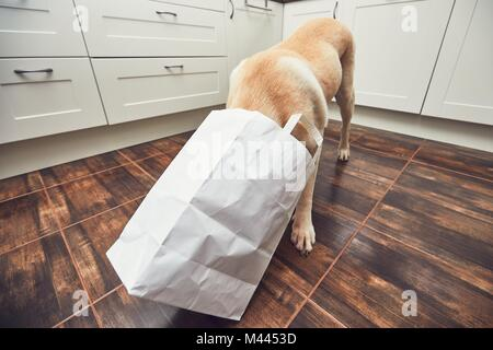 Naughty dog in home kitchen. Curious and hungry labrador retriever eating purchase  from the paper bag. - Stock Photo