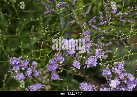 Limonium vulgare, Common sea lavender, Marsh rose - Stock Photo