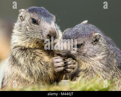 Marmots (Marmota) eat together,young animals,Großglockner,Carinthia,Austria - Stock Photo
