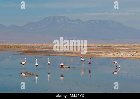 Chilean Flamingos, (Phoenicopterus chilensis), Laguna Chaxa, Salar de Atacama, Atacama Desert, Chile - Stock Photo