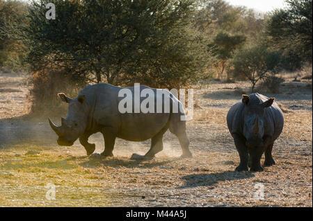 Two white rhinoceroses (Ceratotherium simum) in the bush, Kalahari, Botswana - Stock Photo