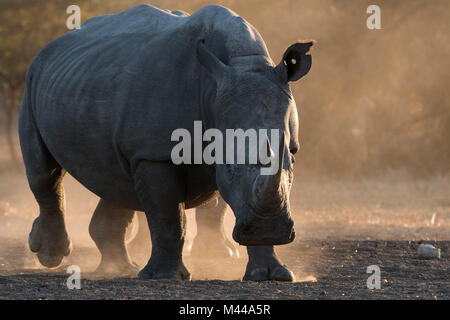 White rhinoceros (Ceratotherium simum) in dust, Kalahari, Botswana - Stock Photo