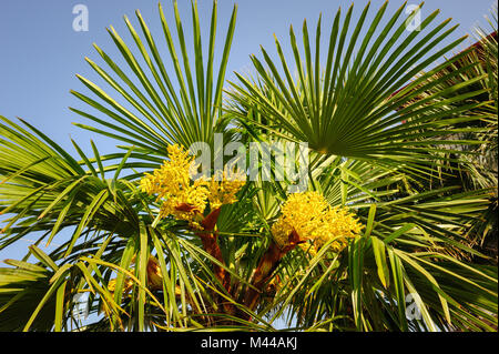 Palm tree blooming yellow flowers against blue sky stock photo blooming palm tree stock photo mightylinksfo Gallery