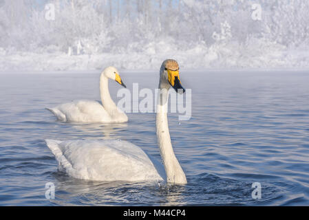 Beautiful white swans on the lake on a frosty winter morning against a white tree in the hoarfrost - Stock Photo