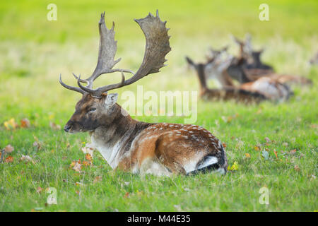 Fallow Deer (Cervus dama). Buck lying in grass with does in background. Richmond Park, London, England - Stock Photo