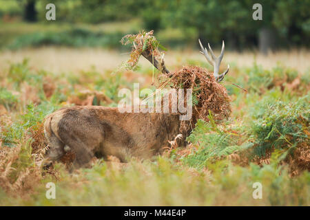 Red Deer (Cervus elaphus) stag, with head covered in grass and bracken, after thrashing during rut, Richmond Park, - Stock Photo