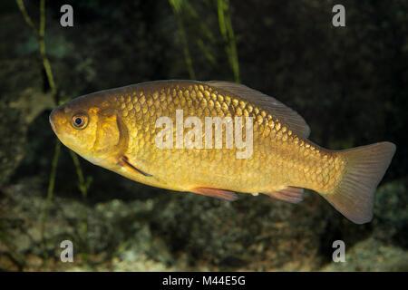 Crucian Carp (Carassius carassius) under water. Germany - Stock Photo