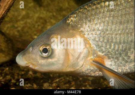 Common Nase (Chondrostoma nasus). Portrait of adult under water. Germany - Stock Photo