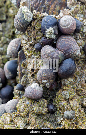 Common Periwinkles (Littorina littorea) and barnacles in the intertidal zone. North Sea, Germany - Stock Photo