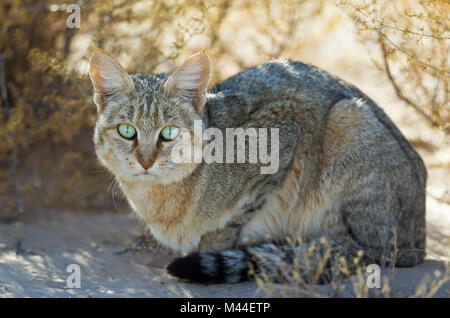 African Wild Cat (Felis silvestris lybica). The vehicle of the photographer is reflected in its eyes. Kalahari Desert, - Stock Photo