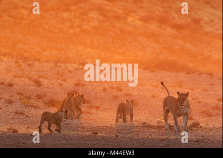 African Lion (Panthera leo). Female with four cubs in the light of the early morning, walking. Kalahari Desert, - Stock Photo