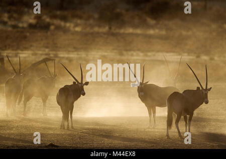Gemsbok (Oryx gazella. Nervous and raising lots of dust in the early morning. Kalahari Desert, Kgalagadi Transfrontier - Stock Photo