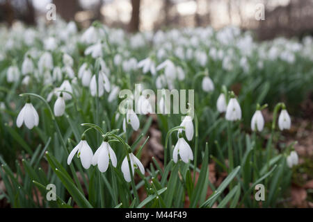 Snowdrops in winter woodland, The Cotswolds, Gloucestershire, England, United Kingdom, Europe - Stock Photo