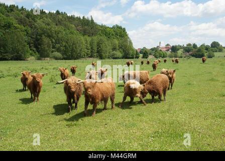 Hochlandrinder-Weide in der Hallertau in Niederbayern - Stock Photo