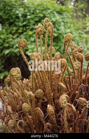 Dryopteris affinis, Goldschuppenfarn, scaly male fern - Stock Photo