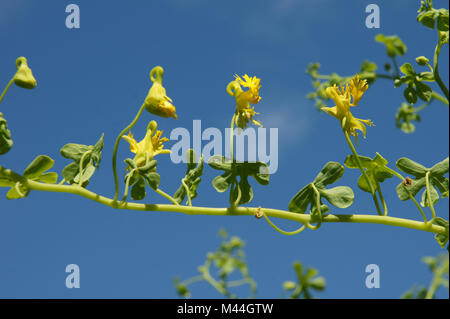 Tropaeolum peregrinum, Kanarische Kapuzinerkresse, canary creeper