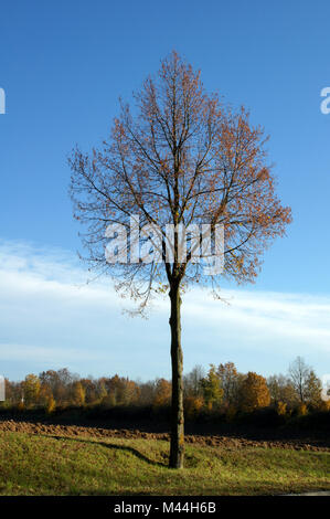 Tilia platyphyllos, Sommerlinde, largeleaved lime - Stock Photo