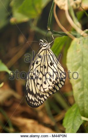 Malabar tree nymph butterfly hanging from vine - Stock Photo