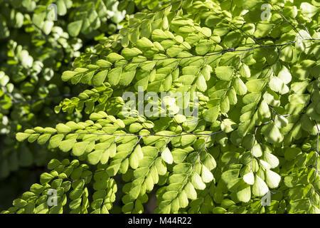 Adiantum venustum, Evergreen Maidenhair, Himalayan - Stock Photo